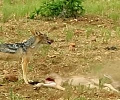 Jackal Eats A Wildebeest Calf Alive While Its Mother Watches